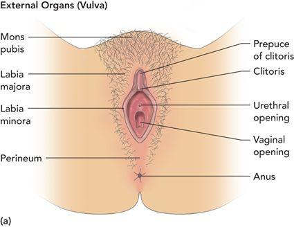 anatomy of vulva with clitoral hood